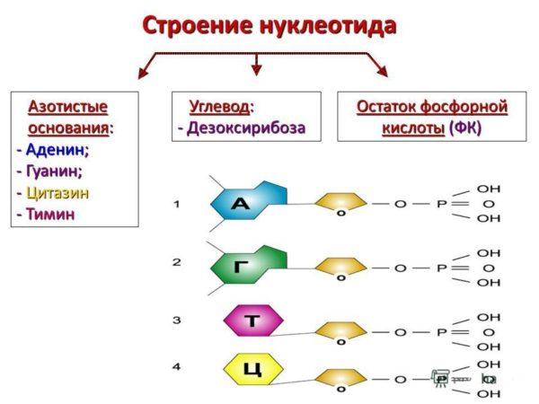 Строение нуклеотида