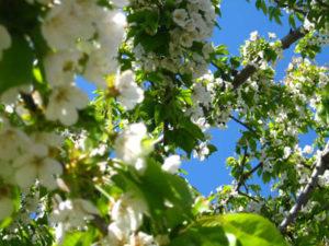 вишневый сад план
