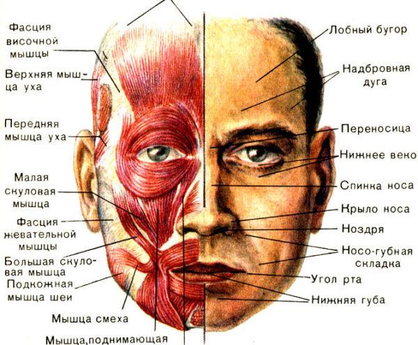 Лицевые мышцы