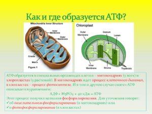 молекула атф содержит