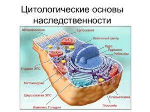 сравните растительную и животную клетку