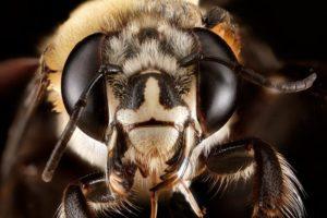 сколько у пчелы глаз фото