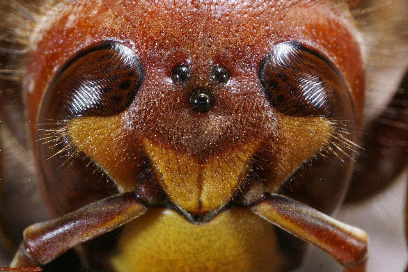 сколько глаз имеет пчела